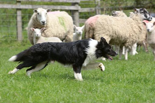 herdingdog