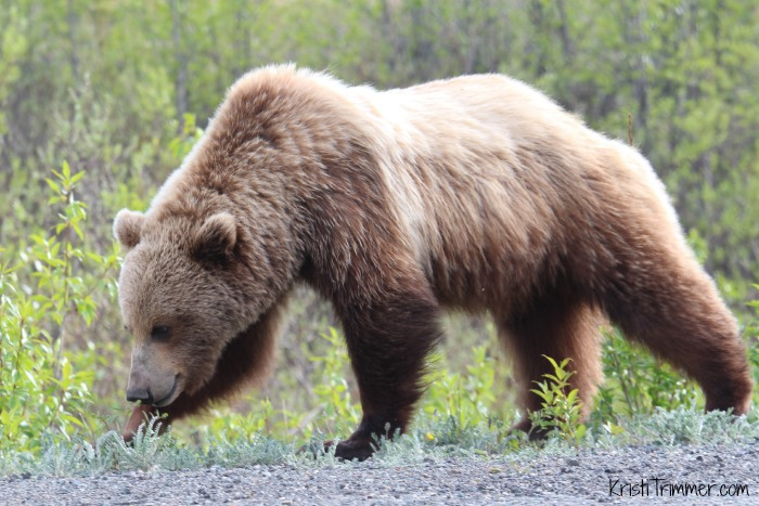 6-4-14 Grizzly Bear_1