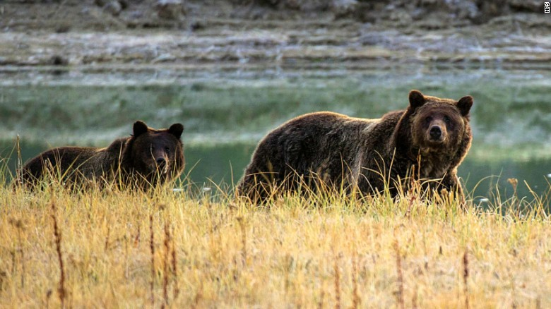 150808190010-yellowstone-grizzly-2012-exlarge-169_210537