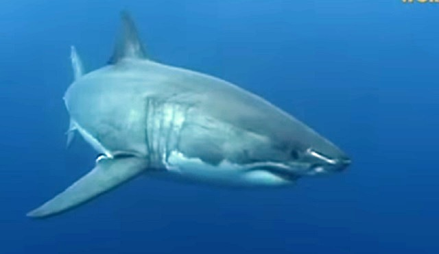 Great white shark sighting in Half Moon Bay area | KRON4