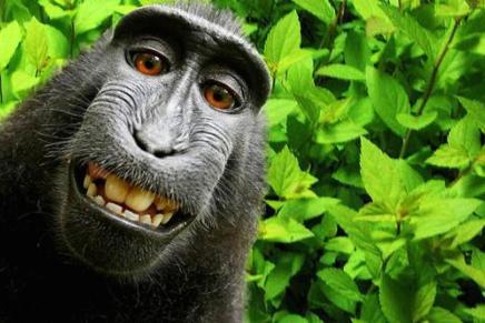 Bij wie ligt het auteursrecht van deze aapselfie?