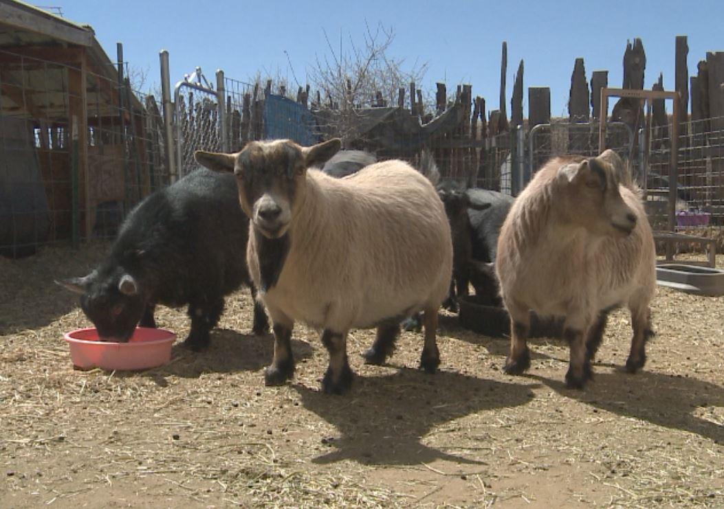 pygmy goats_336677