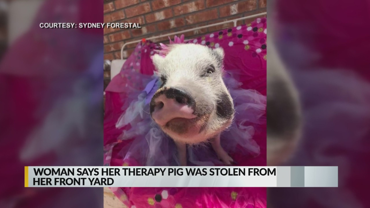 $3000 reward offered for safe return of 'Barbie' the therapy pig_1556252649730.jpg.jpg