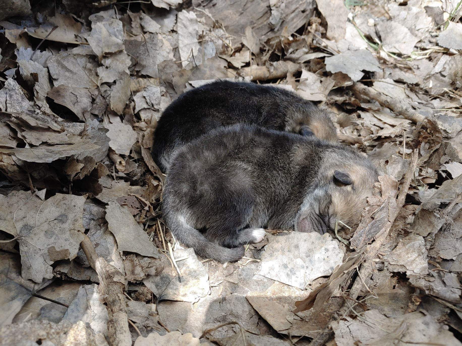 wolf pups may 2019_1559058728579.jpg.jpg