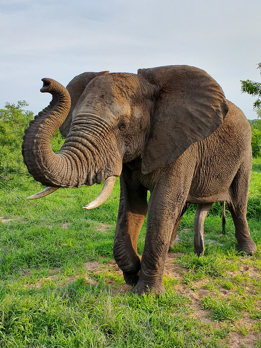 Distinctly Africa Manyeleti Trip Report: 3 days of amazing sightings!