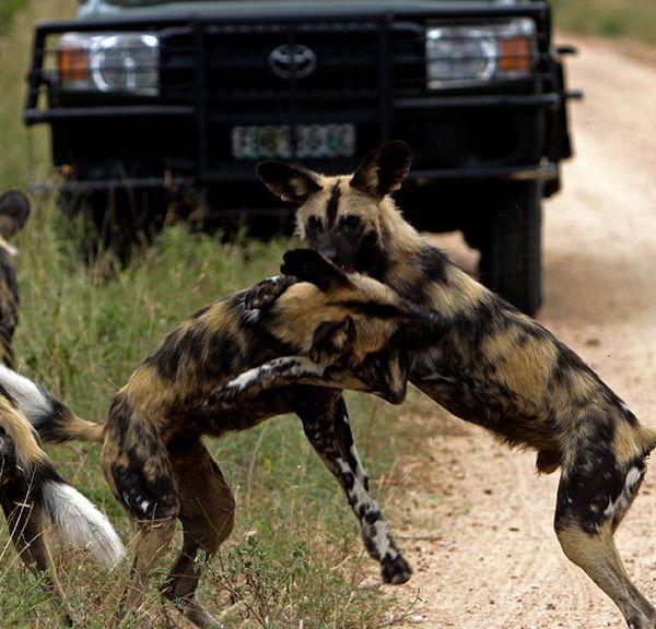 Jock Safari Lodge Wild Dogs