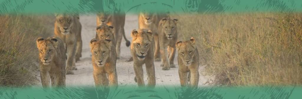 Singita Private Game Reserve Lions Walking