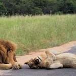 Manyatta Rock Camp Kruger Park Game Drive Lions