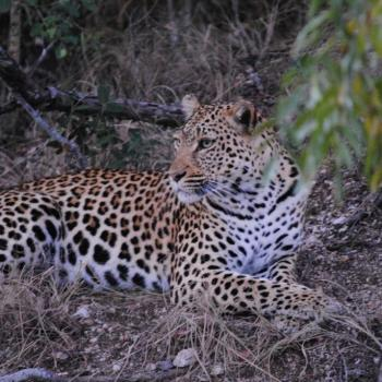 Nkaya Game Lodge Leopard