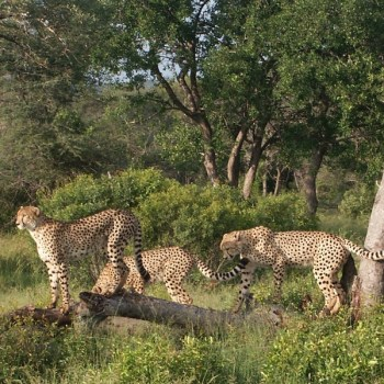 Shumbalala Game Lodge Cheetahs