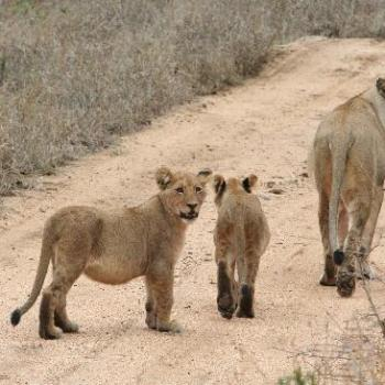 Chapungu Luxury Tented Camp Lioness and Cubs