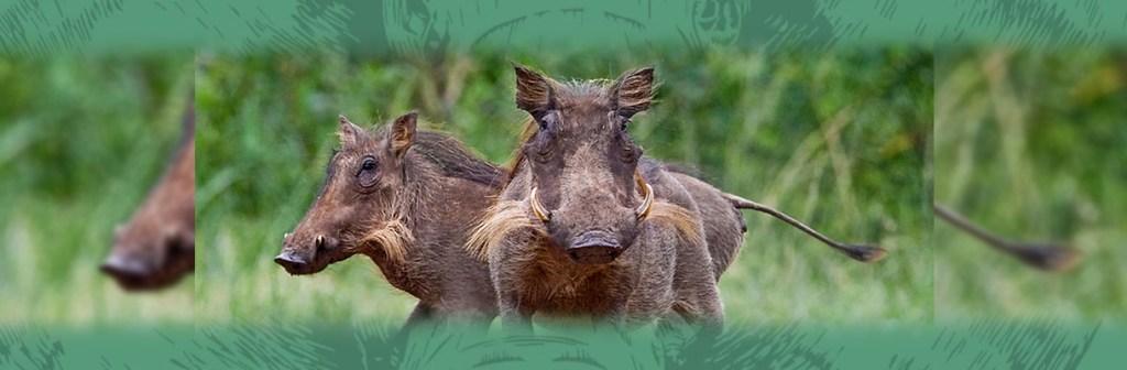 Manyatta Rock Camp Wildlife Sightings Hogs