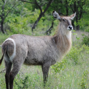 Serondella Game Lodge Buck