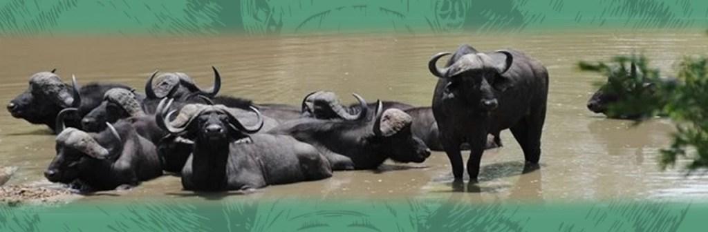 Waterbuck Game Lodge Water Buffalo