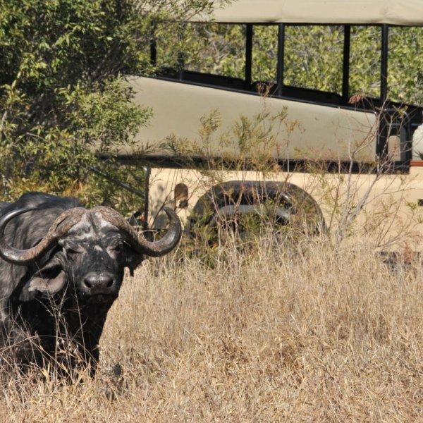 Imbali Safari Lodge Buffalo