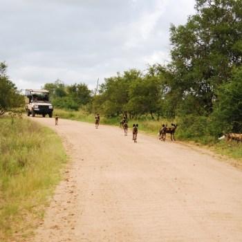 Imbali Safari Lodge Wild Dogs