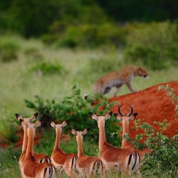 Motswari Private Game Reserve Herd of Deer on the Reserve