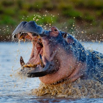 Motswari Private Game Reserve Hippo Spotted Surfacing from the River Water
