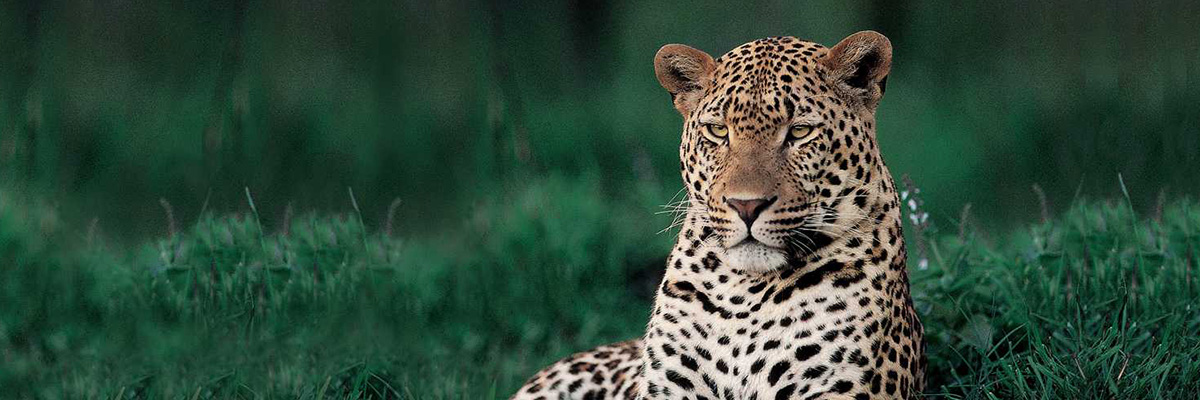 Londolozi Game Reserves Wild Cat