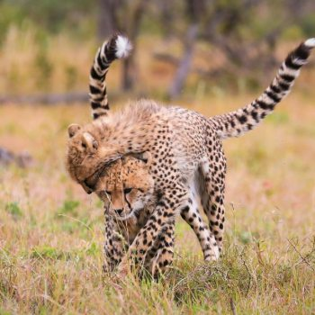 Amani Safari Camp Cheetahs