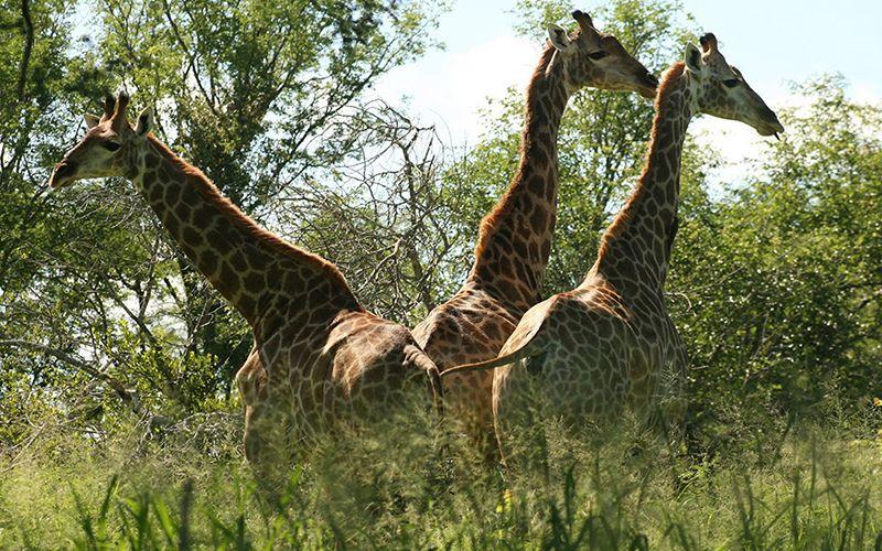 Mjejane River Lodge Giraffe Herd