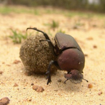 Monwana Game Lodge Wildlife Dung Beetle