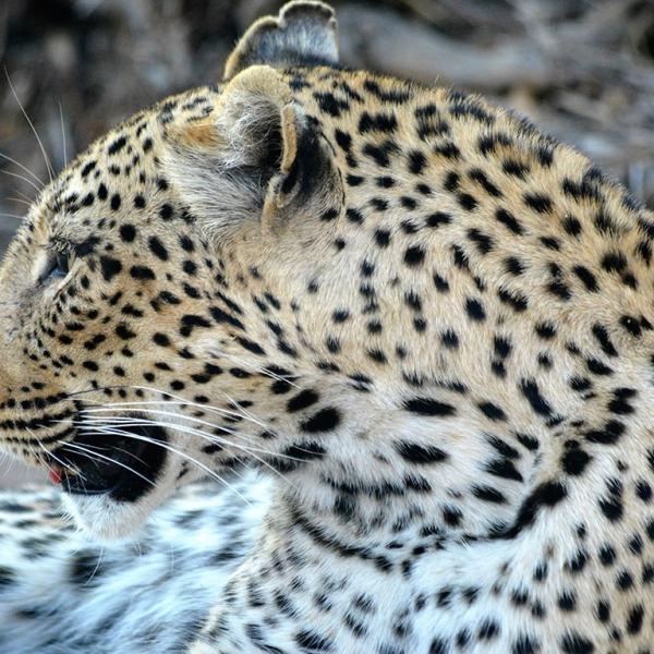 Bateleur Main Camp Leopard