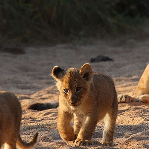Kings Camp Lion Cubs