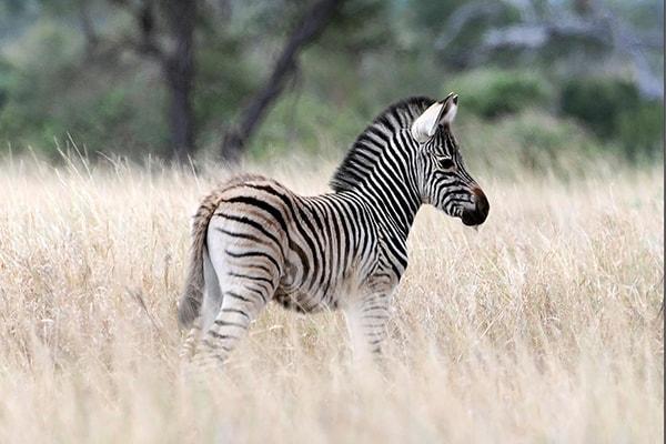 LeoLapa Zebra