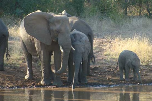 Makalali Private Game Lodge Elephant