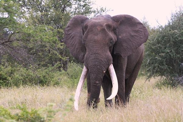 Makumu Luxury Safari Lodge Elephant