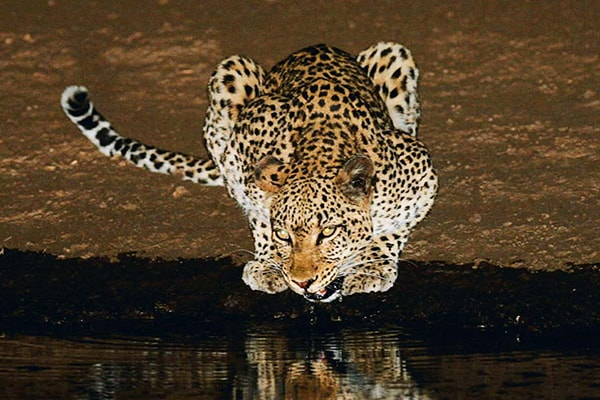 Makumu Luxury Safari Lodge Leopard