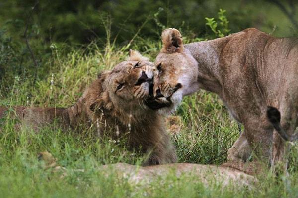 Makumu Luxury Safari Lodge Lions