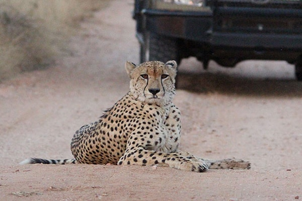 Mohlabetsi Safari Lodge Game Drive Safari Cheetah