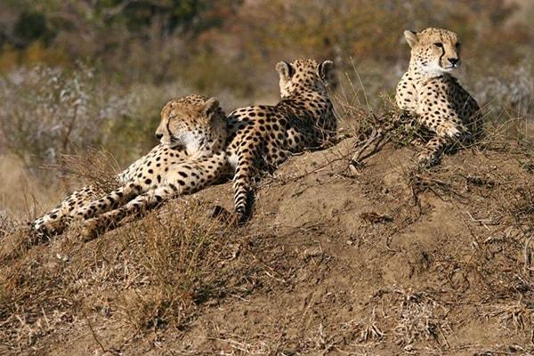 Nkelenga Tented Camp Cheetahs