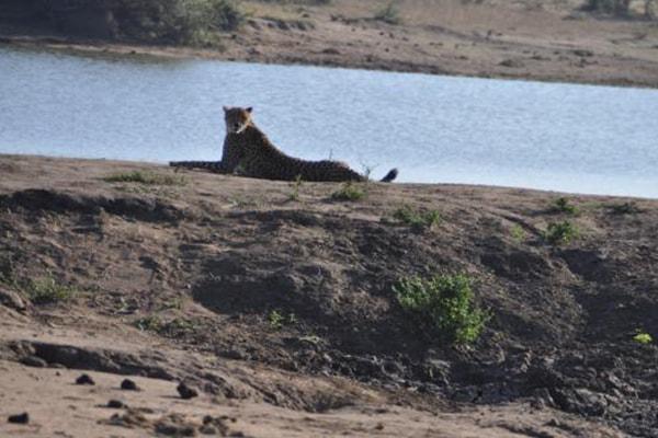 Pungwe Bush Camp Cheetah