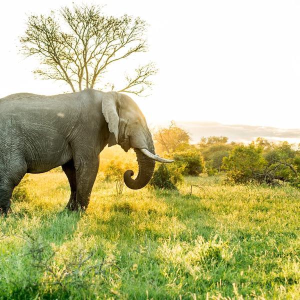 Singita Ebony Lodge Elephant