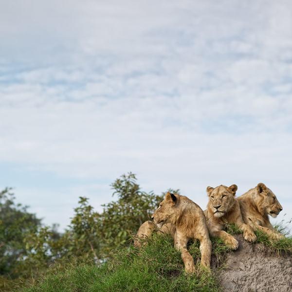 Singita Lebombo Lodge Lions