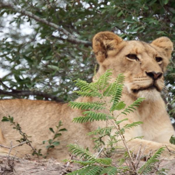 Tangala Safari Camp Lioness