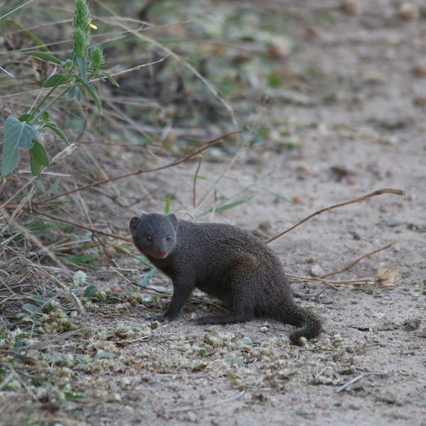 Waterside Lodge Mongoose