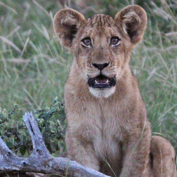 nDzuti Safari Camp Lion Cub