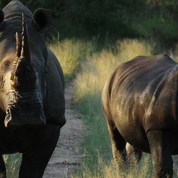 nDzuti Safari Camp Rhinos