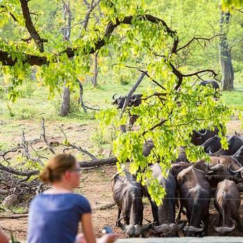 Kruger National Park Buffalo Observation
