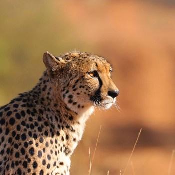 Garonga Safari Camp Cheetah