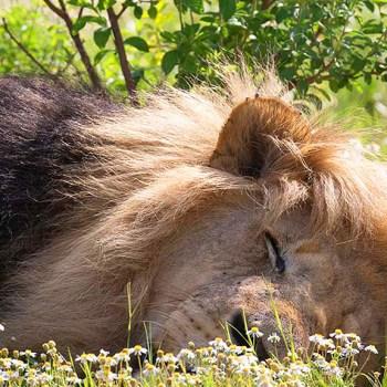 Honeyguide Khoka Moya Camp Lion Sleeping