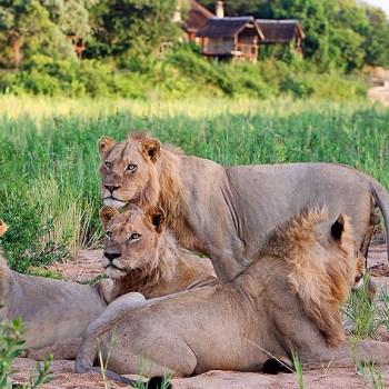 Jock Safari Lodge Lions