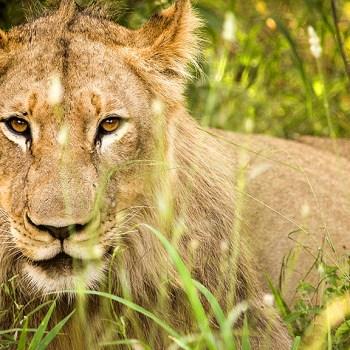 Little Garonga Lion
