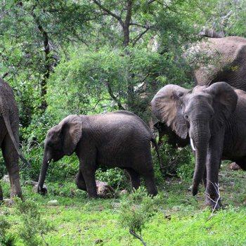 Naledi Bushcamp and Enkoveni Camp Elephants