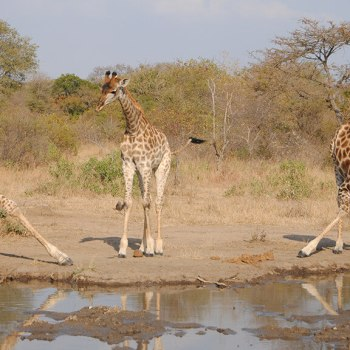 Nkaya Lodge Giraffe