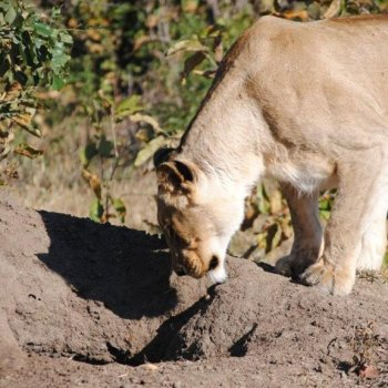 Nkelenga Tented Camp Lioness Hunting